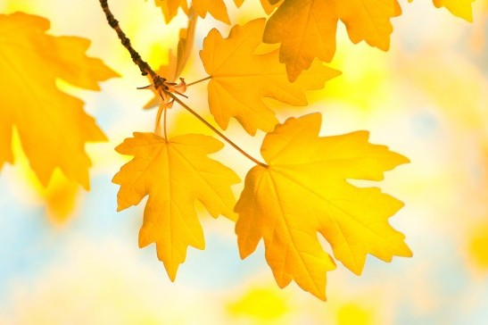 Autumn maple leaves on background